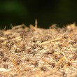 Ants nest in the forrest closeup — Stock Photo