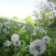 Natural video background. Dandelions in the meadow - Stock Photo