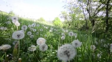 Natural video background. Dandelions in the meadow — Stock Video