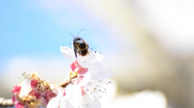 Honey bees collect flower nectar and having love dance on bright background. shallow field of depth — Stock Video