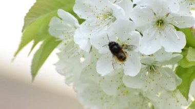 Honey bees collect flower nectar, shallow field of depth background — Stock Video