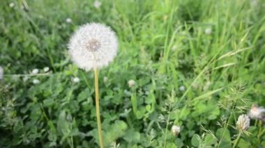 Dandelions flower on meadow — Vidéo