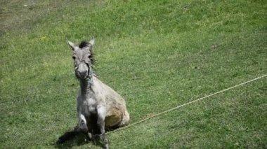Mula burro — Vídeo stock