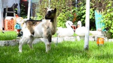 Goat kid joy play — Stock Video