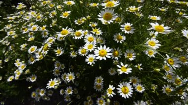 Blossom, Amazing group of daisies flowers, sway gently in the wind. Wide shoot top crane shoot — Stock Video