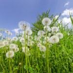 Постер, плакат: Dandelions in the green grass meadow