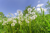 Dandelions in the green grass meadow — Stock Photo