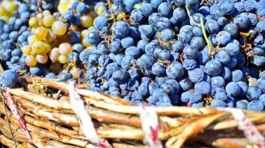 Druiven in wijngaard — Stockvideo