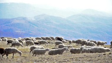 Sheep rushing over a hilltop — Vidéo