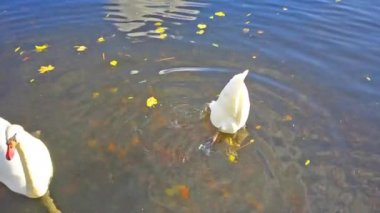 White swans diving for food on the water — Stockvideo