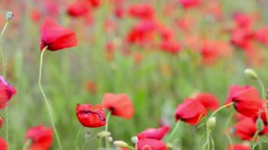 Poppy flower meadow — Vídeo de Stock
