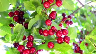 Sour Cherry Orchard Tree — Stockvideo