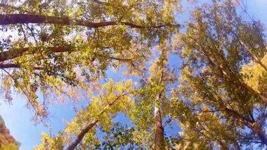 Giant redwood trees growing — Stock Video