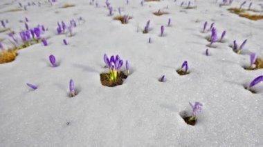 白い冬の雪の上のサフランの花 — ストックビデオ
