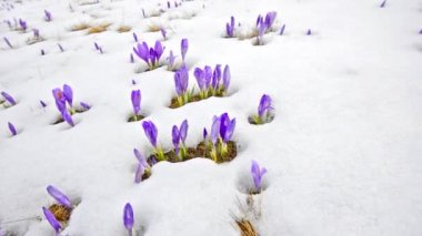 Saffron blossoms on white winter snow — Stock Video