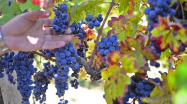 Autumn grape harvest — Stockvideo