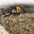 Swallow Baby Chicks Feeding on Nest — Stock Video #49804589