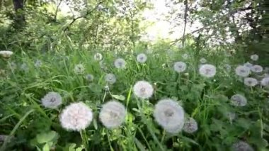 Dandelions in the meadow — Stock Video