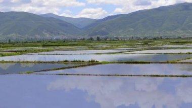 Rice paddy fields — Stock Video
