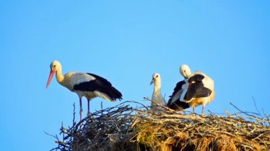 Bill clattering white storks with offspring on nest — Stock Video