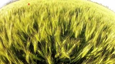 Wheat Blowing in Wind — Stock Video