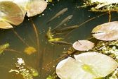 Fishes in a pond — Stock Photo