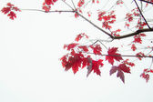 Red leaves on a branch — Stock Photo