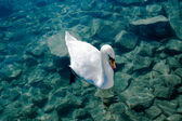 Swan on transparent water — Stock Photo