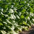 Stock Photo: Bright leaf tobacco field detail