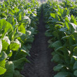 Bright leaf tobacco field detail - Stock Photo