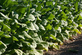 Bright leaf tobacco field detail — Stock Photo