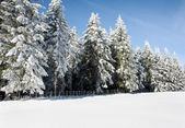 Snowy firs line — Stock Photo
