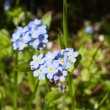 Cyan flowers forget-me-not — Stock Photo