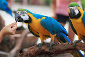 Macaw Parrots eat meal. — Stock Photo