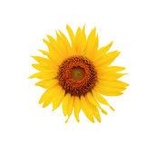 Słonecznik na białym tle — Zdjęcie stockowe
