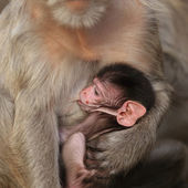 Mother monkey with her cute baby — Stock Photo