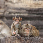 Cute macaque sitting on a brown background. — Stok fotoğraf
