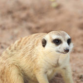 Meerkat watching — Stock Photo