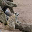 Stock Photo: Meerkat lying in sun