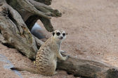 Meerkat lying in the sun — Stock Photo