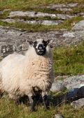 Rutting sheep — Stock Photo