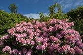 Rododendron — Stockfoto