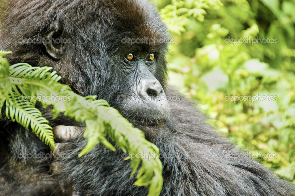 Gorilla in Ruwanda. Gorillas are the largest extant genus of primates. — Stock Photo #13323138
