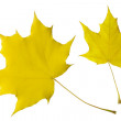 Autumn leaves of the maple — Stock Photo