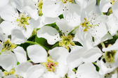 Flowers of a pear — Stock Photo