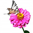 Swallowtail butterfly on a zinnia flower — Stock Photo