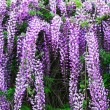 Stock Photo: Wisteriflowers