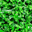 Stock Photo: Clover after rain