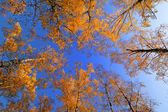 Autumn birch forest — Stock Photo
