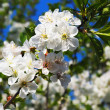 Stock Photo: Flowers of cherry